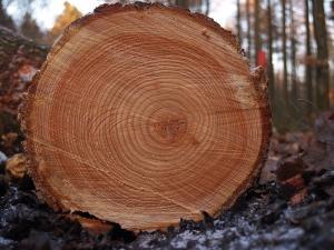Anneaux de croissance d'un arbre