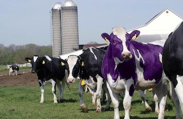 Une vache violette dans un champ, entouée de d'autres vaches.