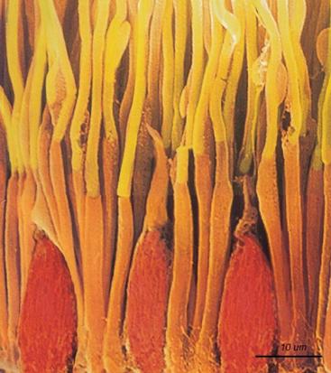 Cônes et bâtonnets vus au microscope électronique, en fausses couleurs [source : Wikipédia]