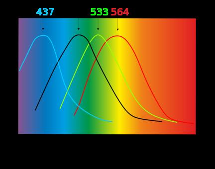 Longueurs d'ondes correspondant aux pics de sensibilité des cônes bleus, verts, rouges, autour du pic de sensibilité des bâtonnets en noir (valeurs variant sensiblement d'un individu à l'autre) [source : Wikipédia]