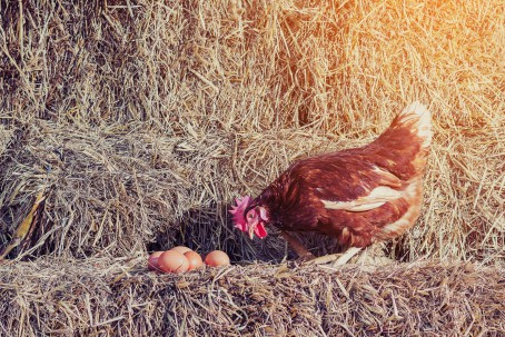 Chicken Laying Eggs