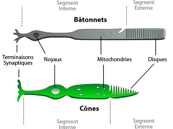 Schématisation des cônes et bâtonnets [source : Wikimedia Commons]