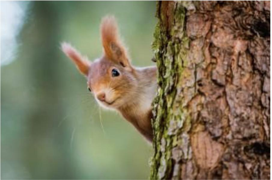 Un petit écureuil passe sa tête derrière un arbre.